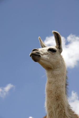 llama: Close up shot di un peruviano Llama Archivio Fotografico