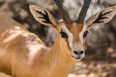 gazelle: Close up of Sand Gazelle at Al Maha, Dubai