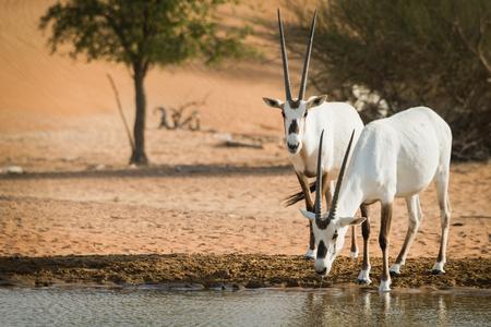 at waterhole: Oryx árabe en el pozo de agua, Al Maha, Dubai