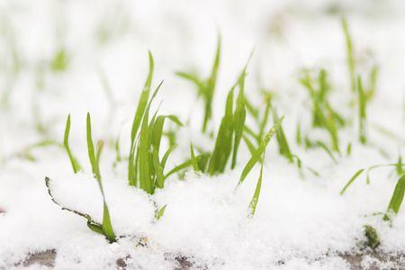 sear: frozen grass in snow
