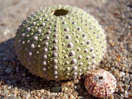 pilluelo: Concha de erizo de peque�os y grandes sobre la arena.