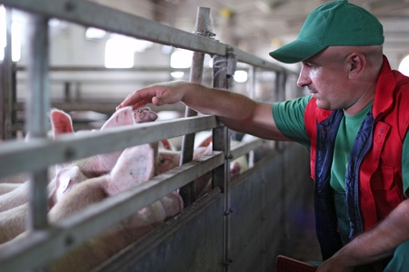 pigpen: Farmer at work on a pig farm