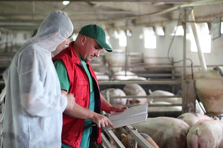 Veterinarian doctor with farm worker at a pig farm Stock Photo