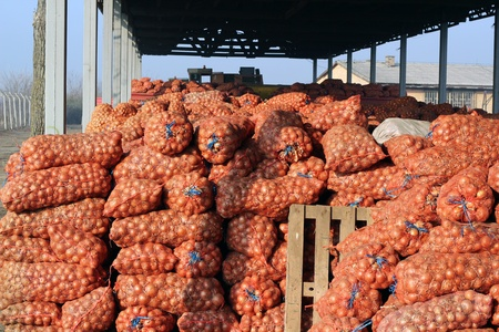 The storage of onions crop in mesh bags at a warehouse. Selectiv focus.