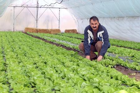 Growing fresh butter lettuce in a greenhouse.