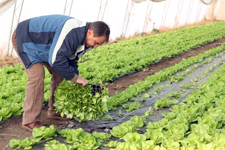 Farmer planting lettuce seedlings in greenhouse. Selective focus on the farmer Stockfoto