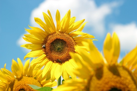 monoculture: Portrait of a sunflower in the field  Stock Photo