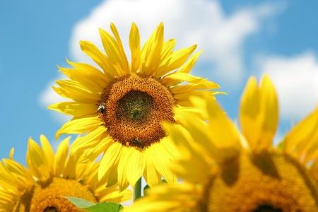Portret van een zonnebloem in het veld