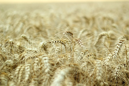 Ears of ripe barley ready for harvest growing in a farm field  Selective focus  Shallow DOF  photo