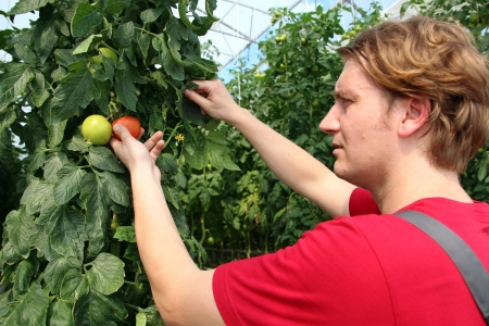 Portrait of a man at work in commercial greenhouse  Hands and tomato in focus  photo