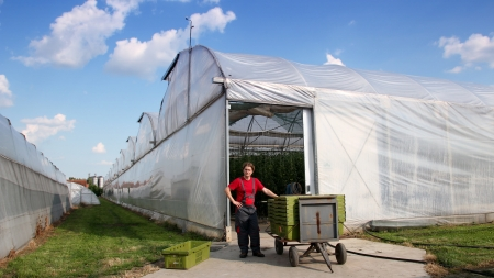 commercial activity: Worker in work suit standing in front of the commercial greenhouse beside plastic crates with fresh tomato