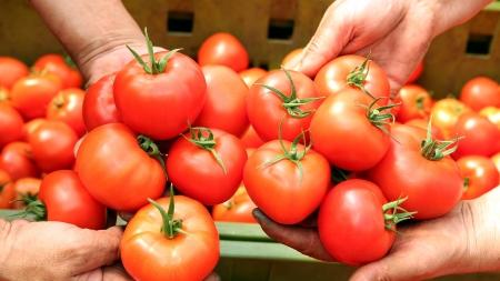 Human hands holding fresh ripe tomatoes   photo