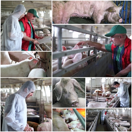 Collage of photographs showing intensive pig farming  photo