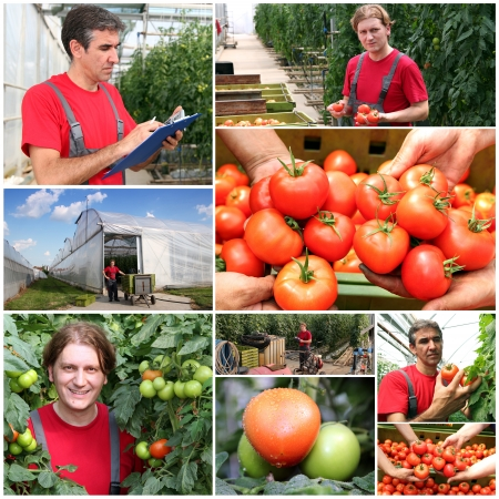 Collage of images showing tomato growing in commercial greenhouse  Stock Photo - 14583540