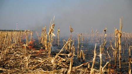 residuos organicos: Fuego en el campo de maíz después de la cosecha