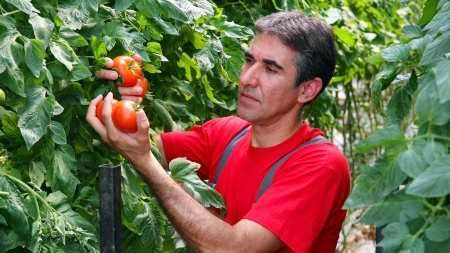 tomato plant:  Commercial Production of Fresh Market Tomatoes
