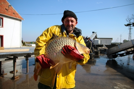 pecheur: Portrait de pêcheur avec les gros poissons de la carpe dans ses mains à la ferme du poisson