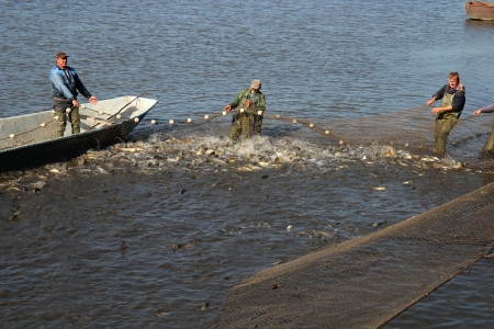 Fishermen Pull in Nets Filled With Fish  Harvesting fish at fish farm