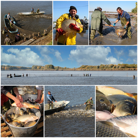 Collage of photographs showing workers harvesting carp fish from a fish farm.  photo