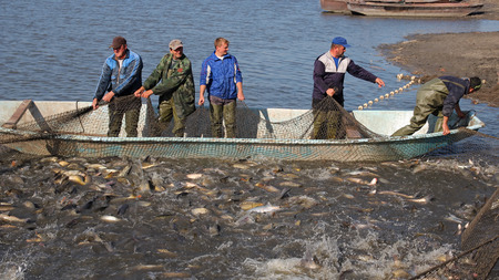 Fishermen Harvest Carp Ahead of Christmas photo