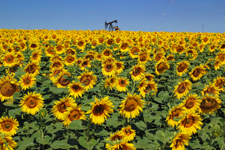 jack pump: Oil Rig and Sunflower Filed Stock Photo