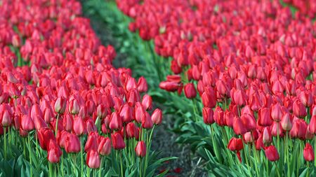 red tulips: Sea Of Red Tulips