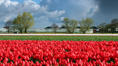 red tulips: Landscape with Red Tulips and Clouds on Blue Sky in Netherlands Stock Photo