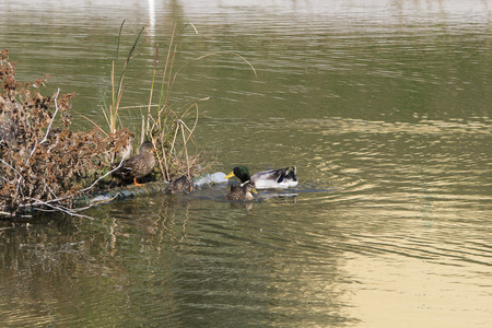 wintering: Wild Ducks Nesting on Artificial Floating Island