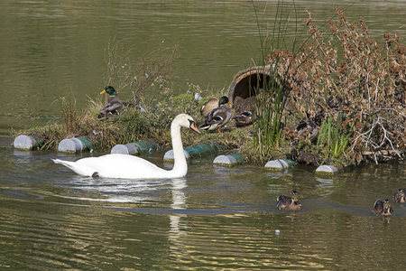 wintering: Swan and Wild Ducks on the Lake Stock Photo