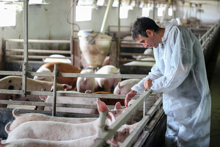 Veterinarian Doctor Examining Pigs at a Pig Farm