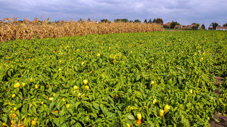 Plantation of Peppers in the Field