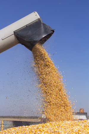 Corn Falling from Combine Harvester Auger into Grain Cart