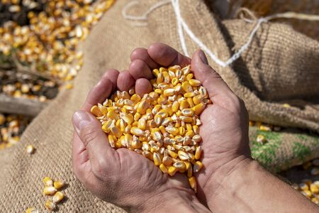 Farmer's rough hands holding corn kernels above a linen sack loaded with freshly harvested grain corn.Close up of peasant's hands with corn grains.