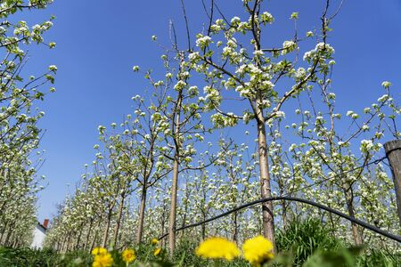 Spring Scene in Blooming Orchard. Pear Blossom - White Pear Flowers Blooming on the Tree.