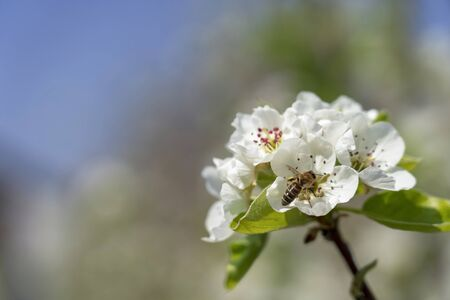 Honey Bee Collecting Nectar and Pollen from Pear Blossoms. Spring Scene in Blooming Orchard. Reklamní fotografie