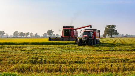Every year in September takes place the rice harvest in Lombardy photo