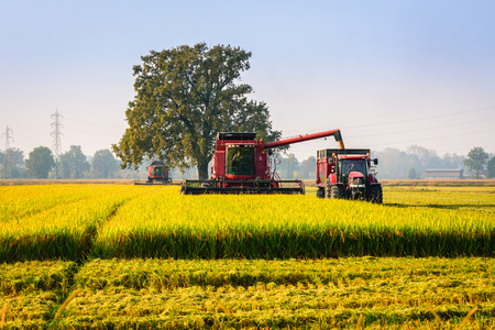 threshing: Every year in September takes place the rice harvest in Lombardy Stock Photo
