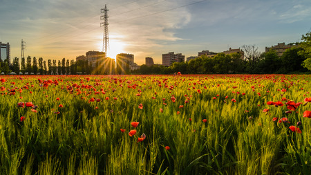 a nice view of field of grain and poppies  in Milano city at sunset photo