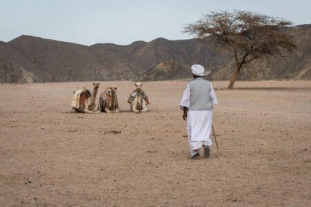camello: En la imagen un beduino le caminando hacia sus tres camellos sentados le espera cerca de un árbol de acacia.