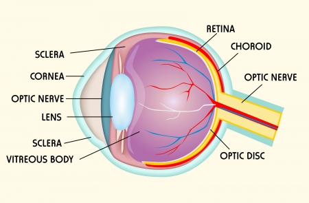 cornea: Eye structure