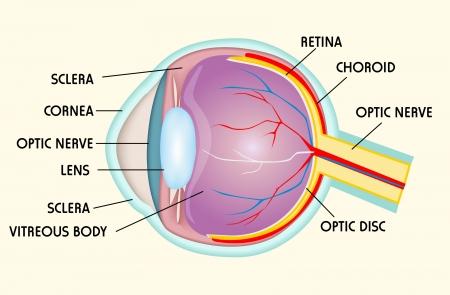 fovea: Eye structure