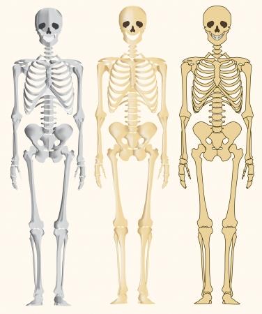 esqueleto humano: Esqueleto humano Vectores