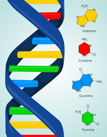 deoxyribonucleic: DNA illustration