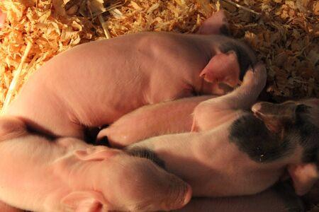 piglets: Piglets