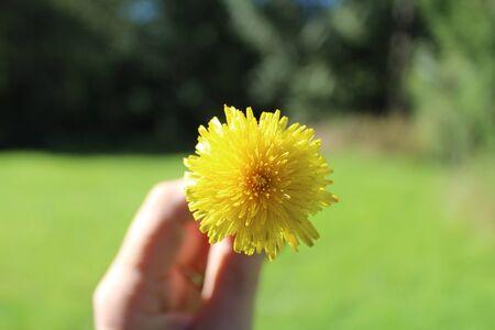 Dandilion Yellow Burst Stock fotó