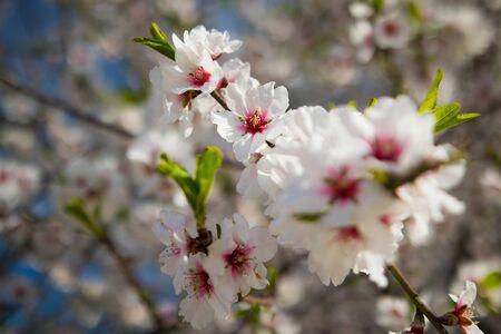Almond blossom in spring - Mallorca Foto de archivo