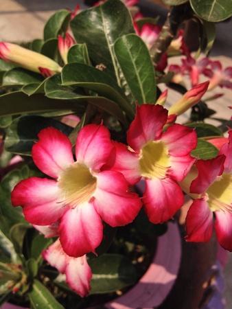 desert rose: Impala lily, desert rose