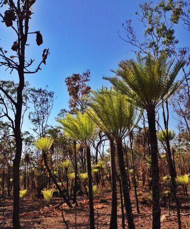 kakadu: Cycads , kakadu national park, australia