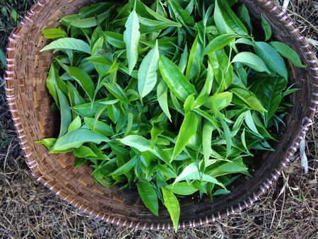 oolong tea: Oolong tea leaves