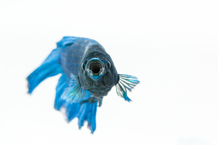 Betta fish opening its mouth and facing to camera. Also known as fighter fish Stock Photo
